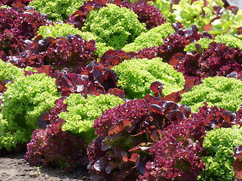Red & Green Salad Bowl Lettuce seeds Mix  Heirloom Top Quality Home & Market