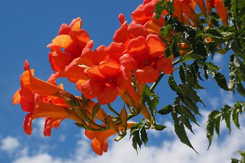 Campsis radicans Trumpet Vine Seeds