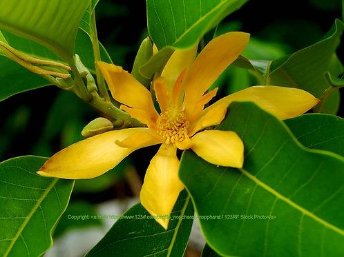 Michelia Champaca Joy Perfume Tree Seeds