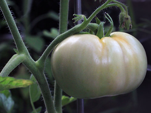 White Beauty Heirloom Tomato Seeds OP Non GMO