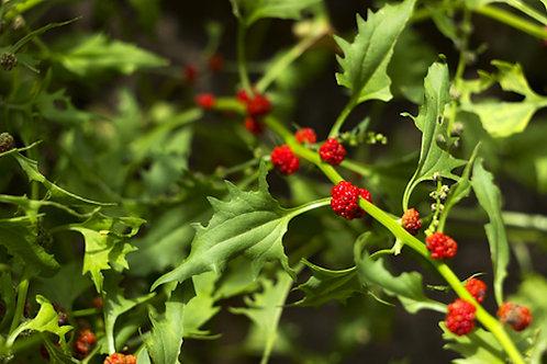 Strawberry Spinach Chenopodium 50 Seeds