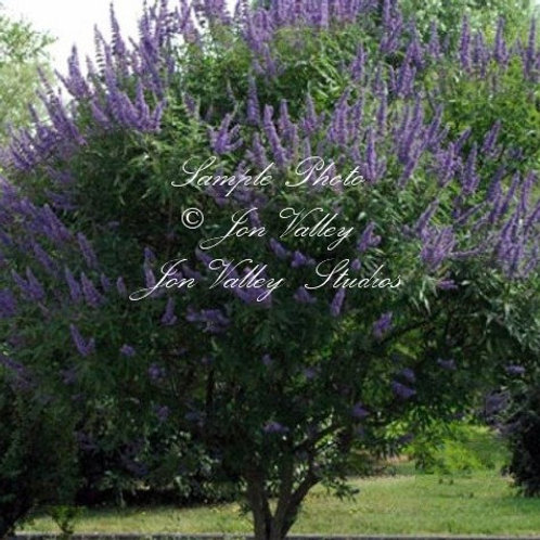 Vitex angus castus Tree Seeds Chaste tree
