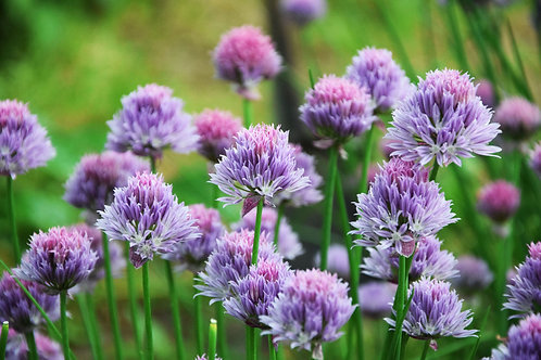 Chives 100 Seeds NON GMO
