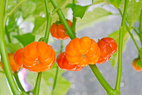 Solanum aethiopicum integrifolium 10 seeds Pumpkin on a Stick