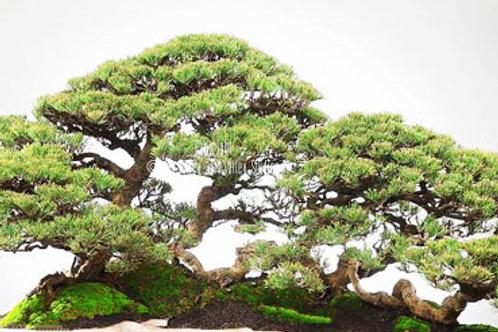 Casuarina equisetifolia Australian Pine Tree Seeds