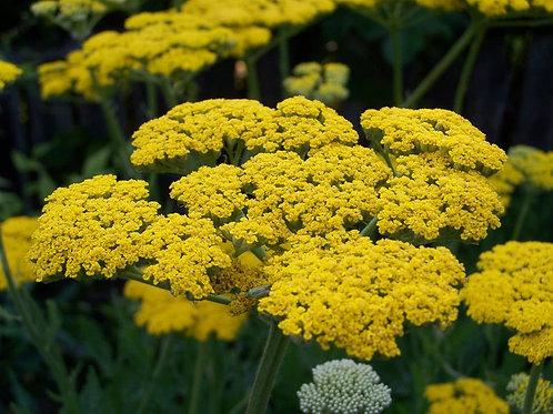 SEEDS = = = 100 seed Pack- Golden Yarrow- Achillea - Attracts Butterflies