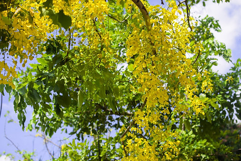 Cassia fistula Golden Shower Tree Seeds
