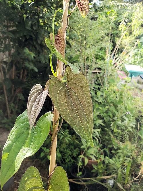 Dioscorea hamiltonii Mountain Yam  10 Rarely Produced Seeds