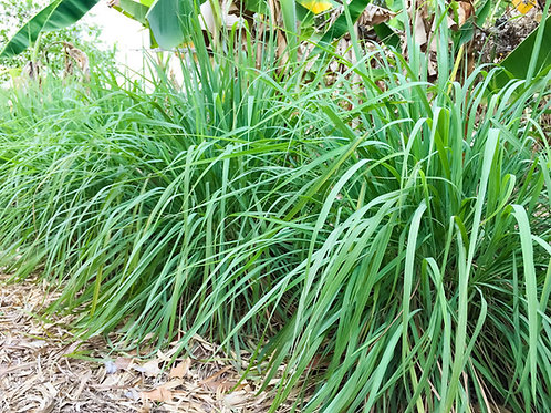 Cymbopogon martinii - Palmarosa Grass Seeds