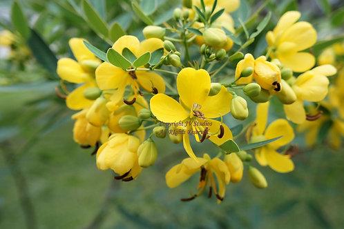 Cassia occidentalis Coffee Senna Seeds