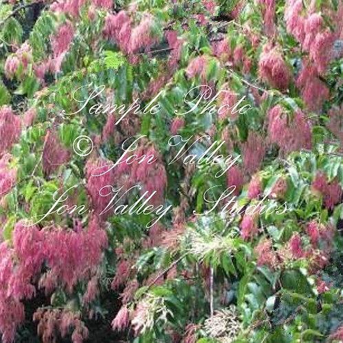 Terminalia myriocarpa East Indian Almond Jhalna
