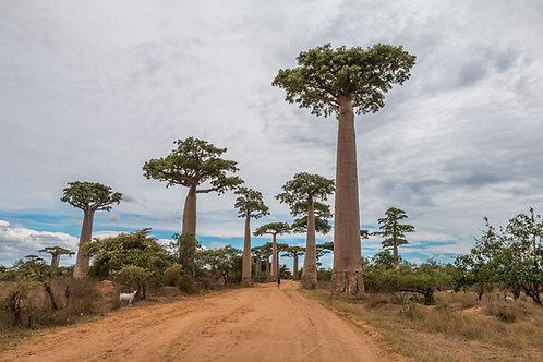 Adansonia digitata Baobab Tree Seeds Grow your Own Rare Tropical