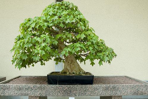 Acer buergerianum Trident Maple Tree Seed