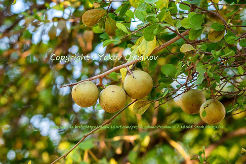 Limonia acidissima Wood Apple 5 seeds