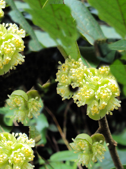 Litsea monopetala Meda 5 seeds