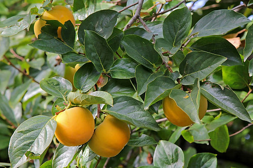 Diospyros melanoxylon East Indian Ebony seeds