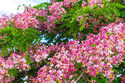 Cassia renigera Rare Burmese Pink Tree Seeds