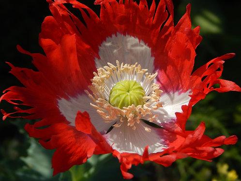Danish Flag Poppy App 100+ Premium Seeds