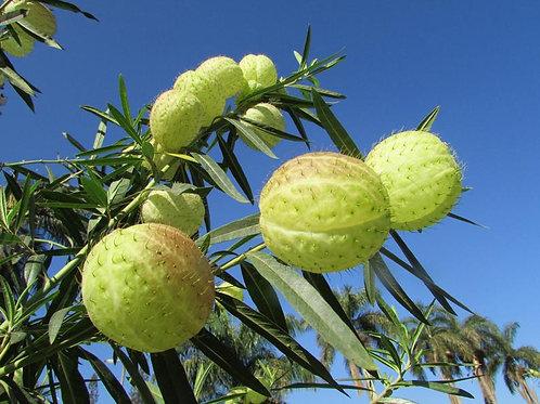 Asclepias Gomphocarpus physocarpus - Balloon Plant - Heirloom - 10 seeds