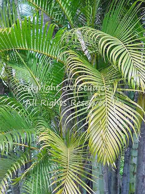 Phoenix roebelinii Baby Date Palm - Pygmy Palm