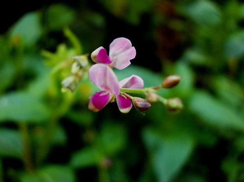 Desmodium gangeticum - Salpani - 10 Seeds