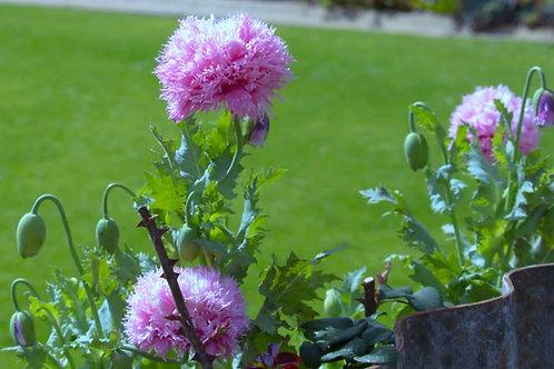 App 100+ premium seeds- Lilac PopmPom Poppy - Attracts Butterflies