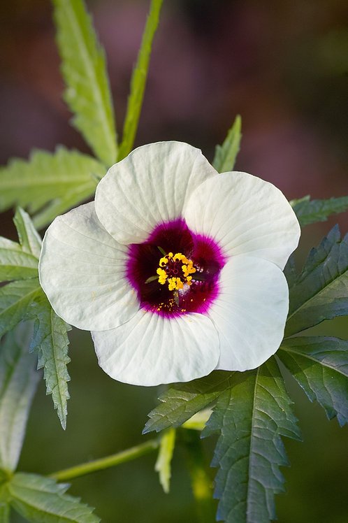 Hibiscus cannabinus White Kenaf Flower seeds