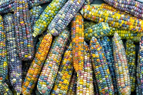 Glass Beads Corn 20 Seeds Non GMO Heirloom