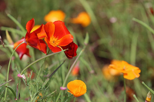 100 premium seeds - California Poppy Copper Pot- Flower beds and container plant