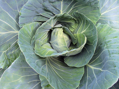 Early Jersey Wakefield Cabbage Seed Heirloom
