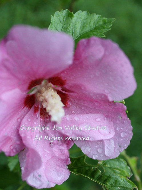 Hibiscus Syriacus Rose of Sharon Seeds Purple Pink