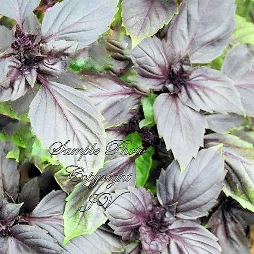 Dark Purple Opal Basil 50 Seeds GARDEN PACK
