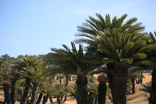 Cycas revoluta Sago Palm Tree 3 Seeds