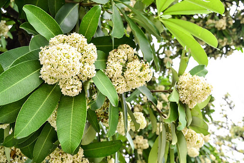 Alstonia scholaris Indian Devil Tree Seeds