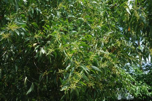Senegal Acacia Gum Valued Tropical Tree Seeds