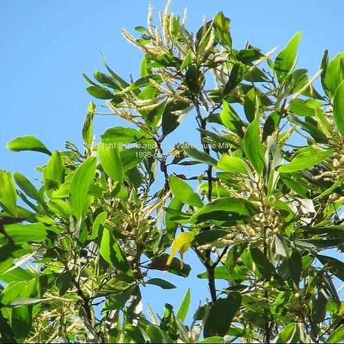 Acacia mangium Hickory Wattle Tree Seeds
