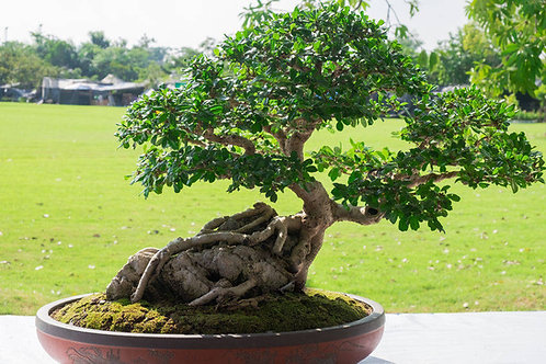 Ficus religiosa Scared Fig Tree 20 Seeds