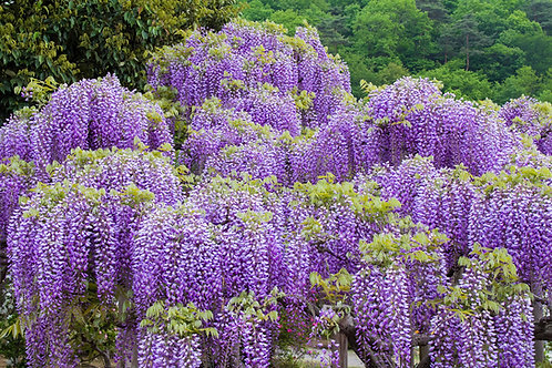 Wisteria sinensis Chinese Wisteria 5 Seeds