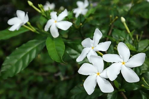 Tabernaemontana divaricate Crepe Jasmine 5 seeds