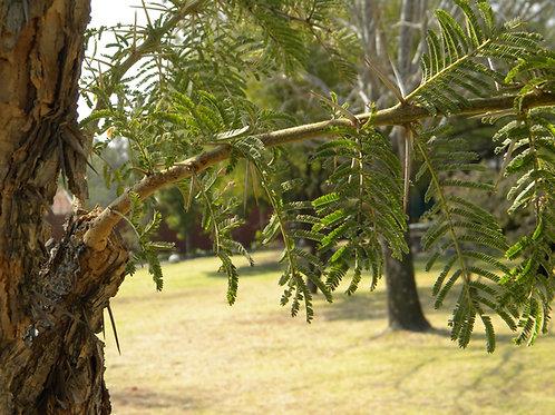 Acacia ferrungenia Rusty Acacia Tropical  Tree Seeds