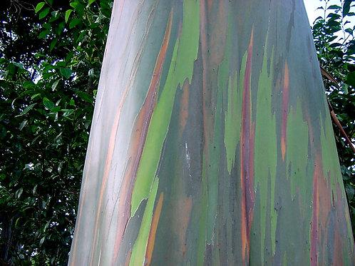 Eucalyptus deglupta Rainbow Eucalyptus   seeds