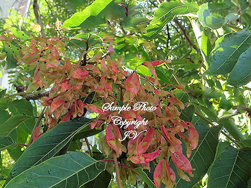 Ailanthus excelsa Indian Tree of Heaven 10 Seeds