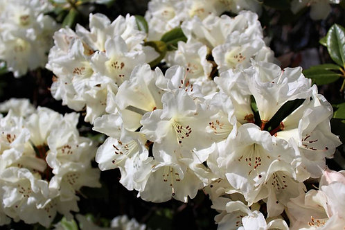 Rhododendron griffithianum / aucklandii - White Flower 20 Seeds
