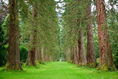 Sequoiadendron giganteum Giant Sequoia Tree Seeds