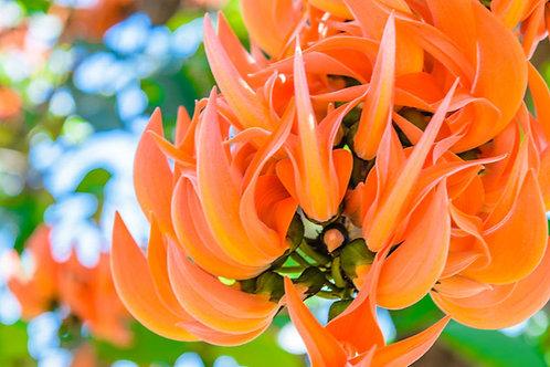 Butea Monosperma Flame of the Forest 5 Seeds