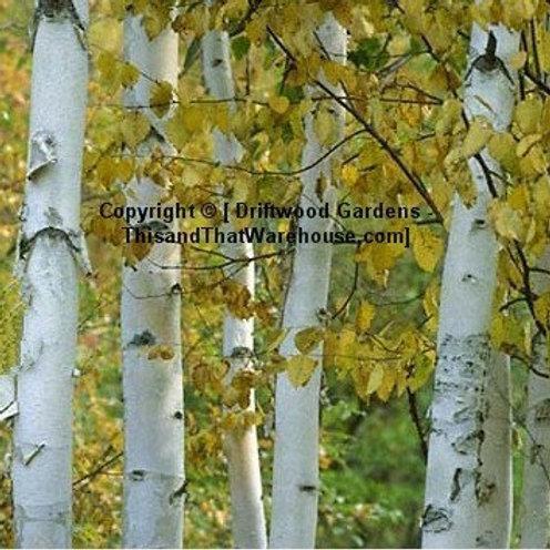 Betula papyrifera Paperbark Birch Tree Seed