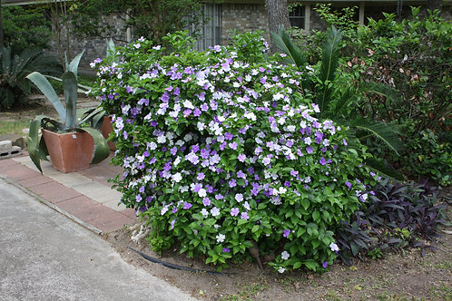 Brunfelsia pauciflora Yesterday Today and Tomorrow