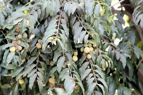 Putranjiva roxburghii Lucky Bean Tree 20 Seeds