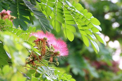 Albizia julibrissin Silk Tree Mimosa Seeds