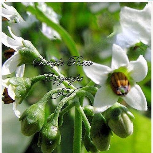 Solanum melanocerasum Organic Huckleberry 20 seeds